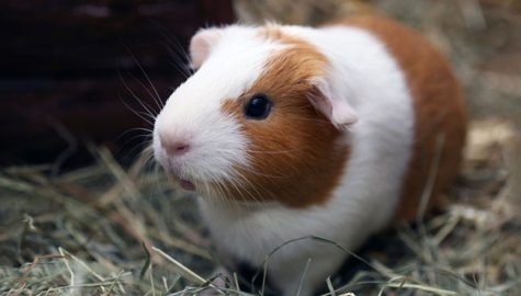 Guinea pigs: friends or food?