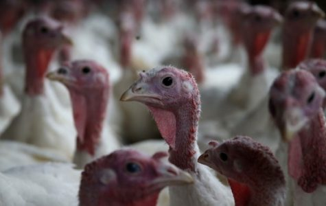 Thanksgiving: the rise of turkey