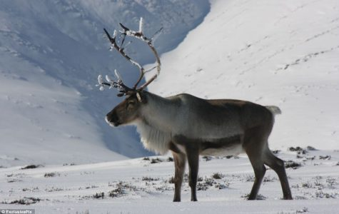 Animal review: reindeer