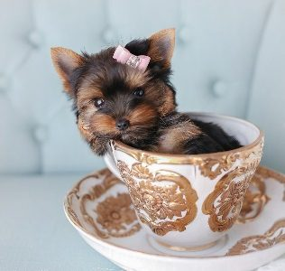 The truth behind teacup dogs