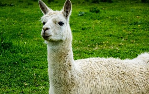 6 facts about llamas
