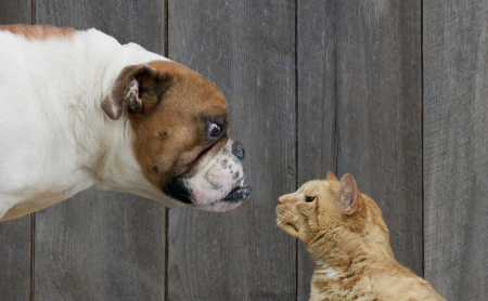Who will win in the great dogs vs. cat debate?