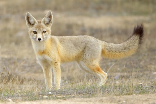 This is the Kit Fox (dog #4).
