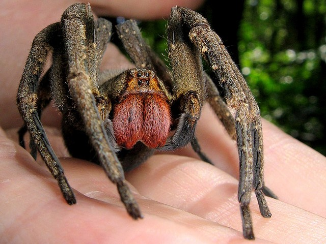 You+do+not+want+to+find+this+spider+in+your+house.
