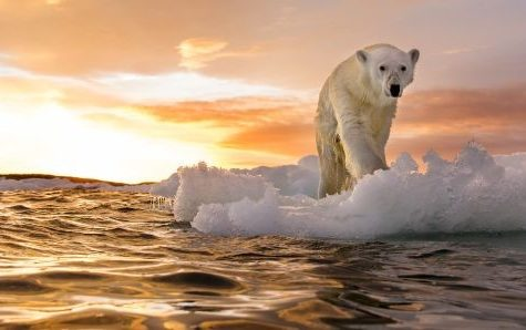 The Arctic has lost 95% of its ice resulting in total chaos among the wildlife community