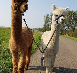 Why Alpacas are great