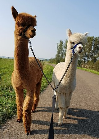 Alpacas look like the hippies of the animal world Photo provided by thethings.com