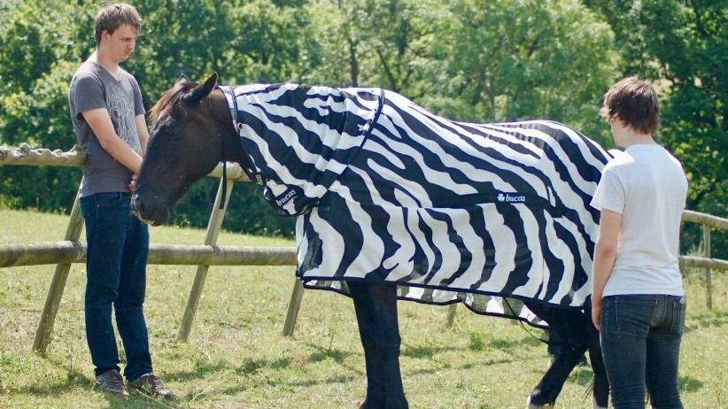 Researchers test their theory to see if stripes protect the horses from insect bites. Info and picture obtained from https://news.sky.com/story/why-do-zebras-have-stripes-to-keep-the-flies-off-say-scientists-11643472.