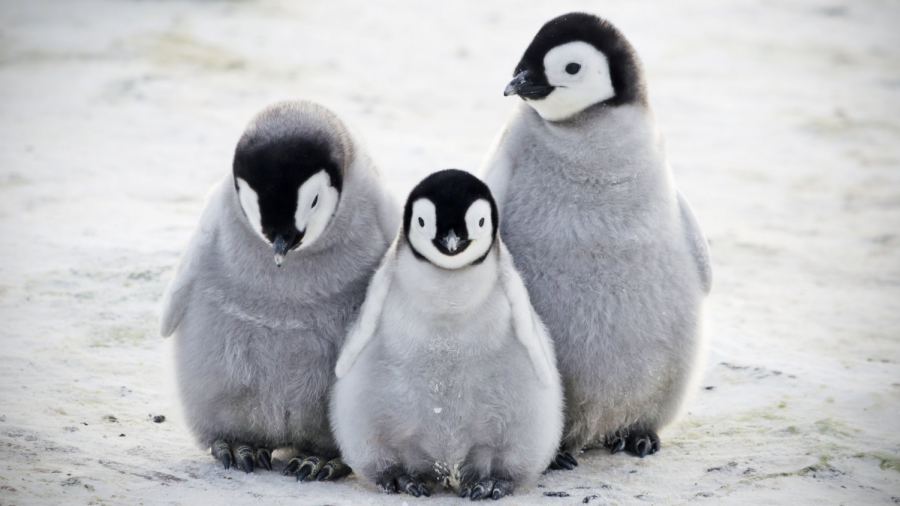 Three+penguins+model+for+this+lovely+picture.