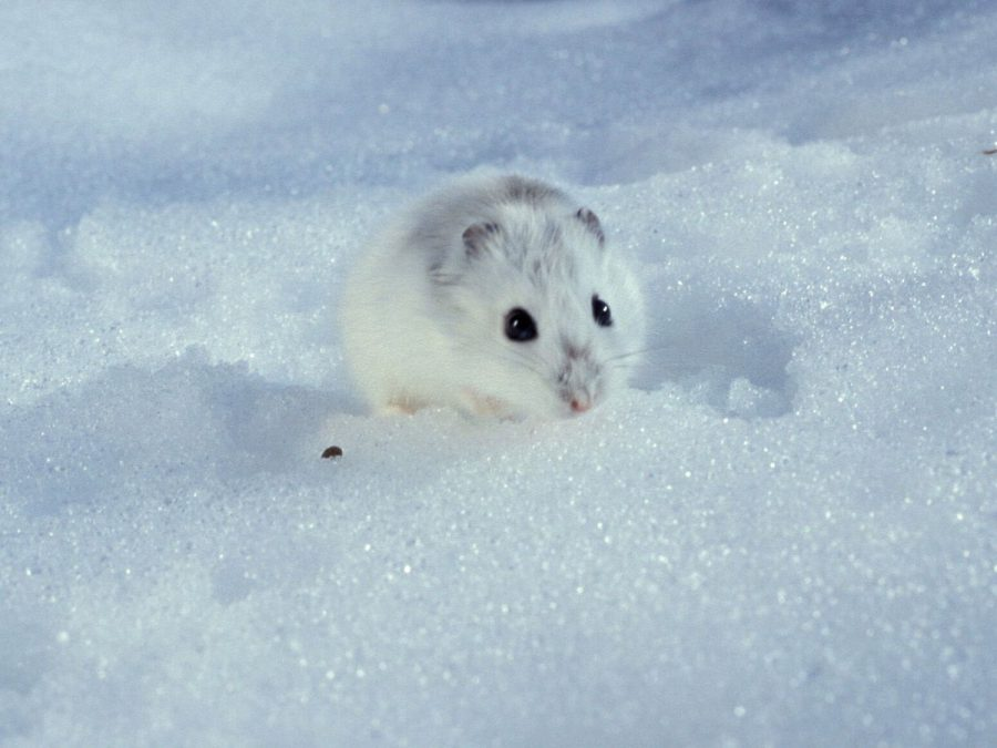 The tiny hamster braved the cold wrath of Scotland in order to satisfy a late night craving.